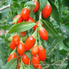 Chinesische Sonnenschein Bio Goji Beere (Wolfberry0