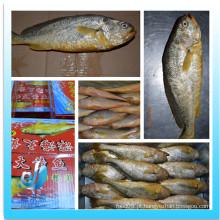Congelado, amarela, croaker, peixe