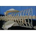 Katzen-Skelett-Modell für das pädagogische und medizinische Zweck-Tier-anatomische Modell