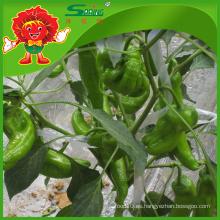 Precio competitivo chile verde fresco para el comprador de Dubai