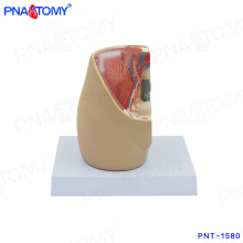 PNT-1580 mini modèle de bassin féminin sur le modèle de bureau