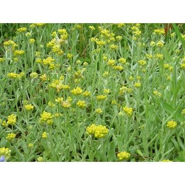Extrato 100% Natural Herba Gnaphaii Affinis 10: 1