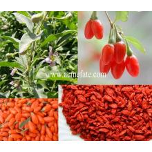 Bayas orgánicas de goji secas goji berry
