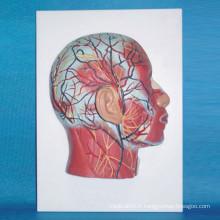 Modèle anatomique médical du nerf musculaire superficiel de la tête humaine (R050124)