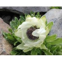 100% neve natural Lotus Herb Powder