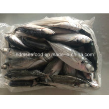 Рыба крупного хардтейл-скад для продажи
