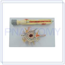 PNT-0640 baixo preço tamanho ampliado modelo de Neurônio para ensino médico fabricado na China