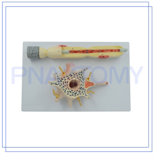 ПНТ-0640 низкая цена увеличенная нейрона Размер модели для медицинского Преподавательства изготовлено в Китае