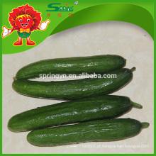 Melhor pepino verde de alta qualidade Tipo fresco organica de plantação