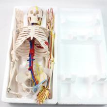 SKELETON07 (12367) медицинские науки 85 см скелет с нервов кровеносных сосудов для школьного образования