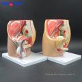 Modelo pélvico fêmea da cavidade de PNT-0580 3 partes, modelo anatômico da pelve