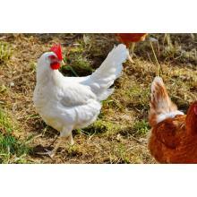 Zéolite en élevage