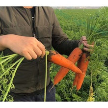 Good Harvest of Fresh Carrot