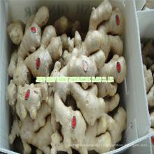 Nouvelle récolte de gingembre frais chinois