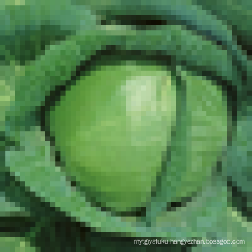 round shaped cabbage,price of green cabbage