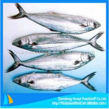 Le maquereau espagnol congelé de haute qualité dans les fruits de mer frais aux poissons avec le meilleur exportateur