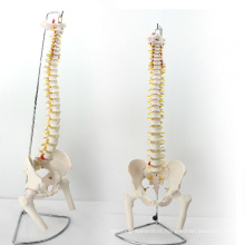 SPINE11 (12383) Medical Anatomy Science Professional Life-Size Vertebral Column with Pelvis and Femur Heads