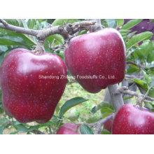 2016 Nouvelle Crop Red Star Apple