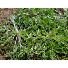 Extracto de hierba de ajenjo capilar 100% natural