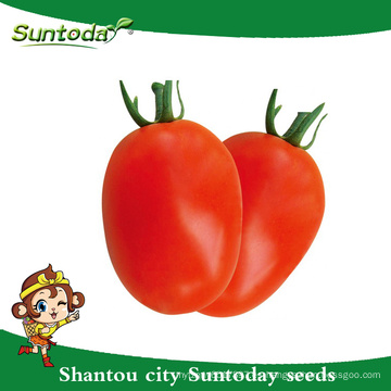 Suntoday determinada roma fruta firme larga vida útil Red ovalada fruta sygenta GS-12 híbrido vegetal F1 Semillas de tomate orgánico (22001)