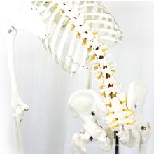 SKELETON01-1 (12361-1) Esqueleto Flexível para Ciências Médicas Modelos Esqueletos Anatômicos Médicos em Tamanho Real 170cm
