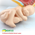 SELL 12448 First Quality Pregnancy Pelvis - 40 Month Infant, Anatomy Models Pregnancy Pelvis with Mature Fetus