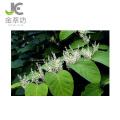 extrato de knotweed gigante polygonum cuspidatum 98% de emodina