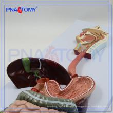 PNT-0450 Modelo do Sistema Digestivo Humano o modelo anatômico do aparelho digestivo