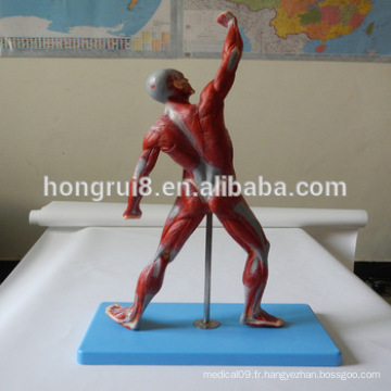 HOT SALE Advanced Exactly Muscles Of Male
