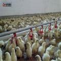 Bebedero automático para pollo