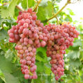 fresh grape fruit red grape table grape  for sale