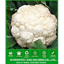 NCF38 Qisi semillas de coliflor híbrido Guangzhou