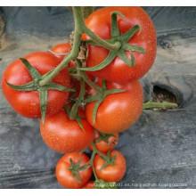 RT21B Chuan indeterminado f1 semillas híbridas de tomate de alto rendimiento