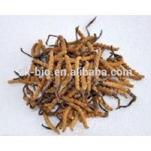 Chinese Wild Cordyceps Polysaccharide Cordceps Sinensis Extract