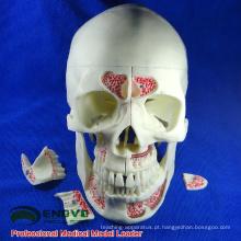 DENTAL10 (12569) Humano Médico Anatômico Adulto Crânio Osteopático Modelos de 10 Partes