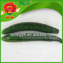 Factory supply fresh cucumber ready for export