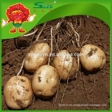 Patata fresca de la fábrica de la patata de la oferta