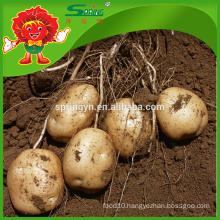 cheap fresh yellow potatoes factory