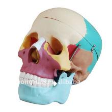 Modelo de crânio com cores ISO, Crânio adulto de tamanho natural em cores
