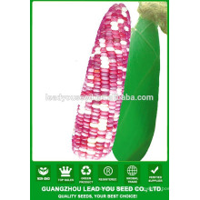 CO03 Ganxin mix cor f1 campo híbrido milho sementes de cera para venda