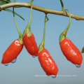 best dried goji berries wolfberry fruit export mauritius