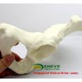 TF05 (12316) Simulation Human Ilum Squelette Anatomie Modèle