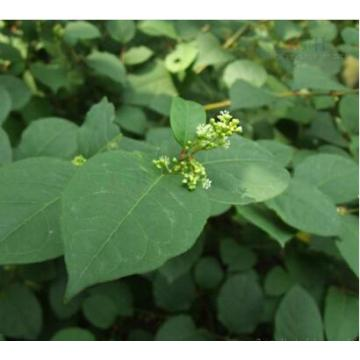 Herbal Extracts POLYGONUM CUSPIDATUM P.E.Resveratrol P.E.>50%