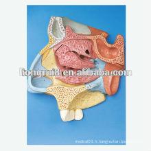 VENTES CHAES Section sagittale médiane de la cavité nasale modèle sagittal modèle nasal humain