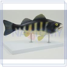 Modèle professionnel d'anatomie de poisson de PNT-0829 adapté aux besoins du client