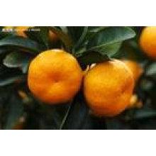 china low price mandarin orange