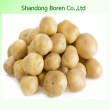 Top Quality New Crop Fresh Holland Potato