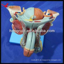 ISO Advanced Anatomical Modell der männlichen Genitalorgane
