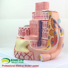 HEART19(12494) скелетных мышечных волокон анатомический медицинский преподавания модель науки