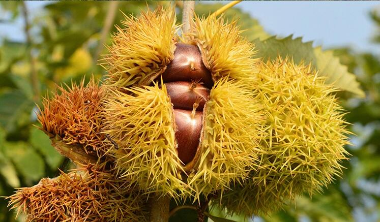 chestnut in tree